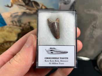 Crocodile Tooth (Morocco) #02