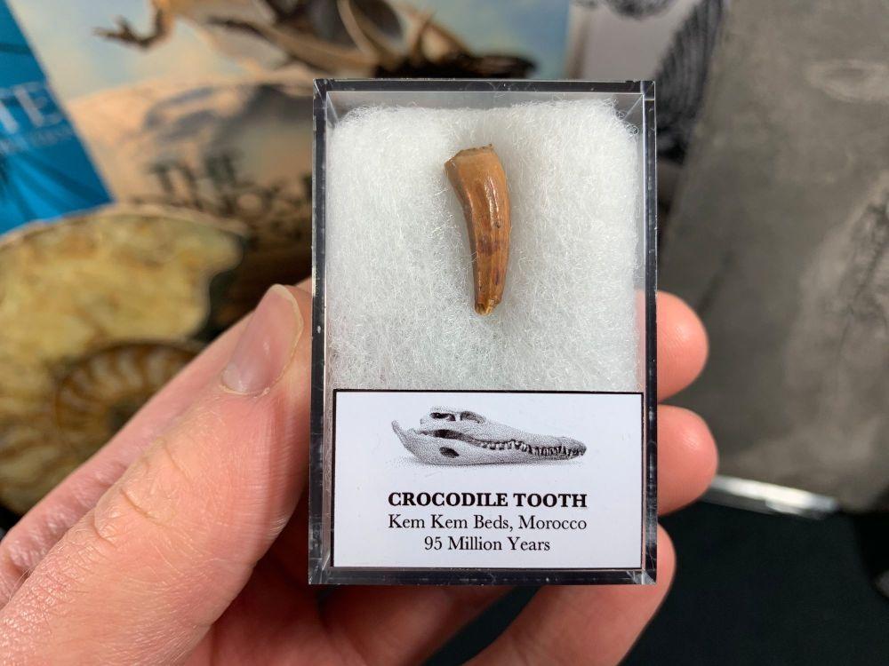 Crocodile Tooth (Morocco) #05