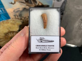Crocodile Tooth (Morocco) #05