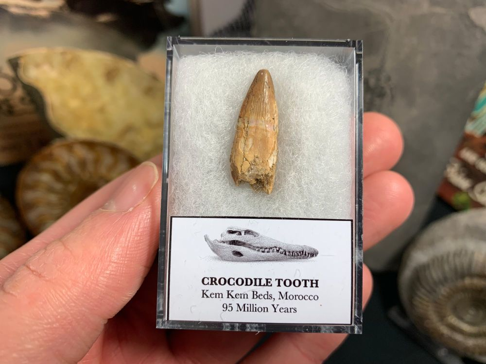 Rooted Crocodile Tooth (Morocco) #05