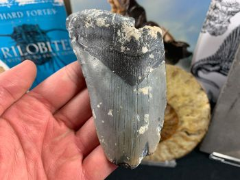 Megalodon Tooth - 4.5 inch #19
