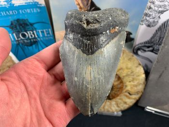 Megalodon Tooth - 4.88 inch #40