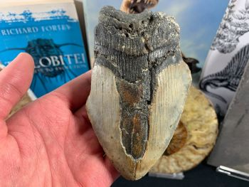 Megalodon Tooth - 4.94 inch #42