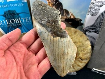 Megalodon Tooth - 5.88 inch #45