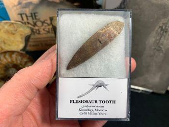 Large Plesiosaur Tooth #08