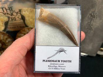 Large Plesiosaur Tooth #09