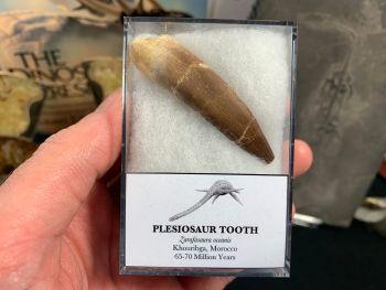 Large Plesiosaur Tooth #10