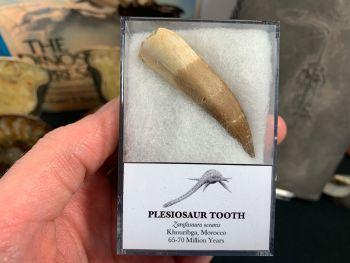 Large Plesiosaur Tooth #12