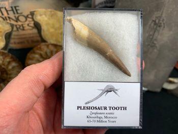 Large Plesiosaur Tooth #13