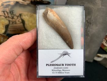 Large Plesiosaur Tooth #15