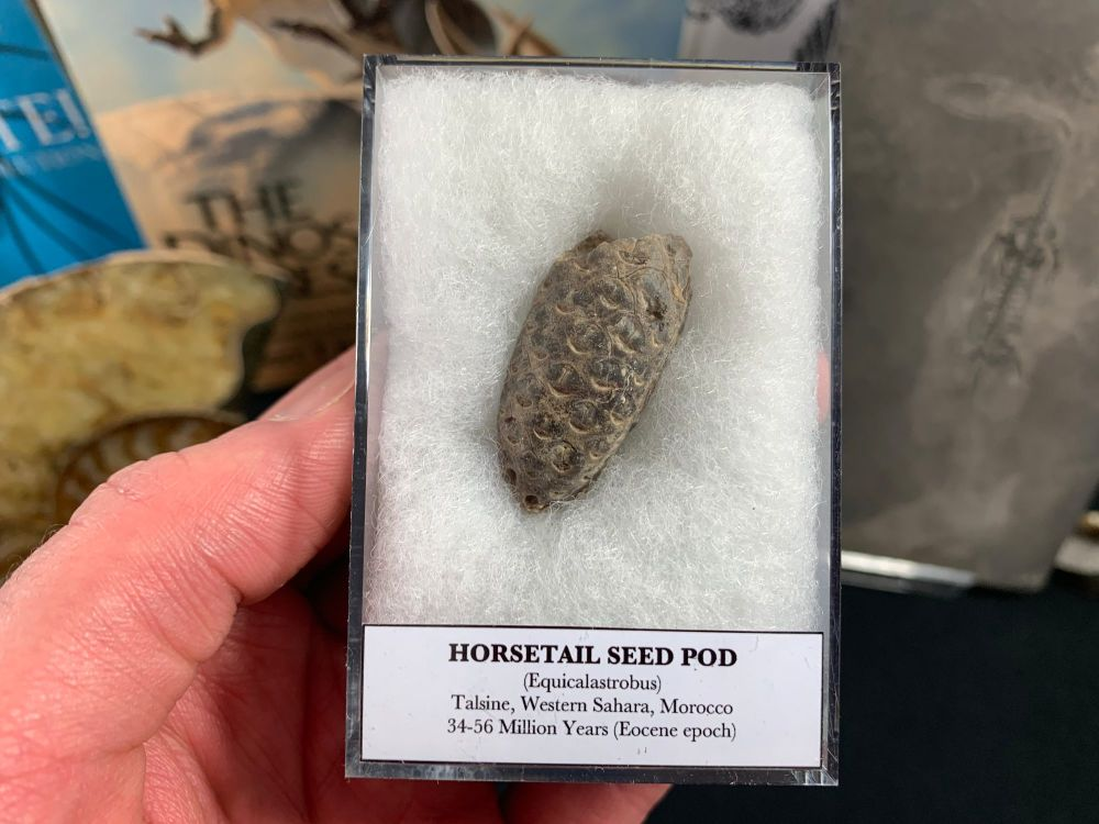 Horsetail Seed Pod (Equicalastrobus), Morocco #01