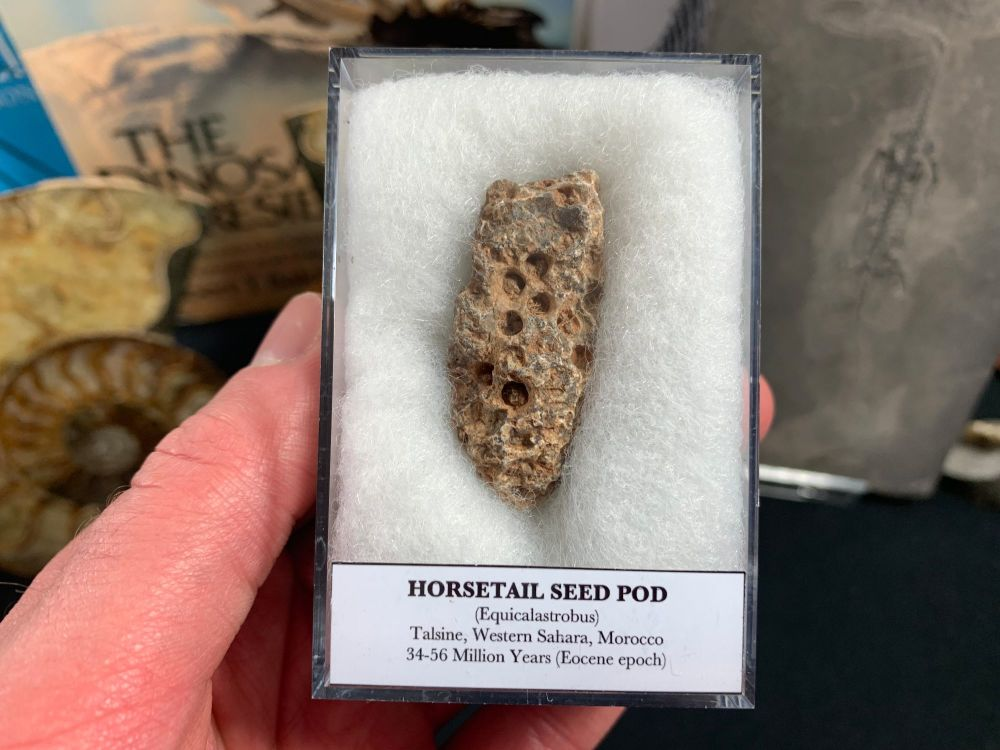 Horsetail Seed Pod (Equicalastrobus), Morocco #02