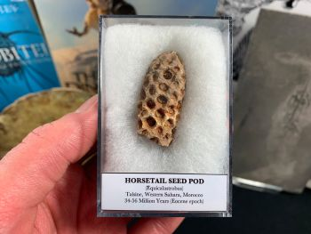 Horsetail Seed Pod (Equicalastrobus), Morocco #03