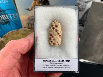 Horsetail Seed Pod (Equicalastrobus), Morocco #05