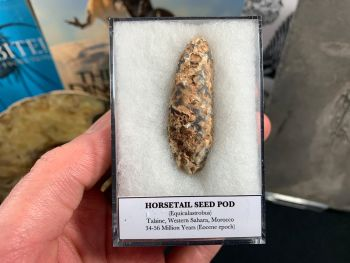 Horsetail Seed Pod (Equicalastrobus), Morocco #10