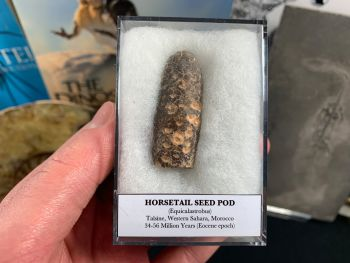 Horsetail Seed Pod (Equicalastrobus), Morocco #11