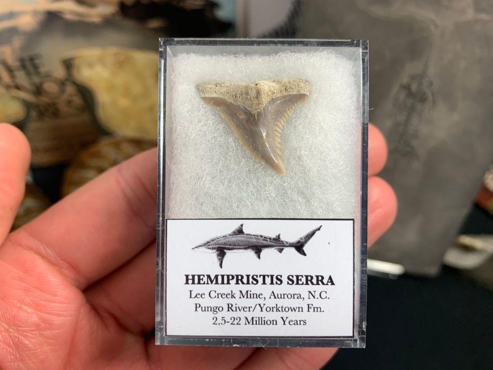 Hemipristis serra Shark Tooth, North Carolina #03