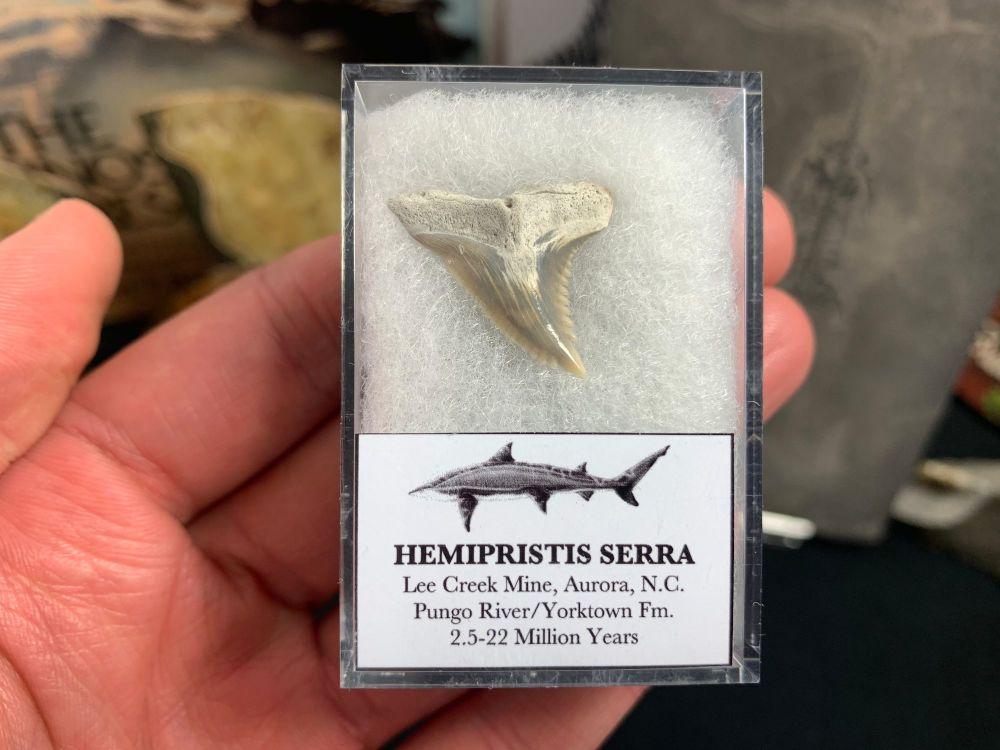 Hemipristis serra Shark Tooth, North Carolina #05
