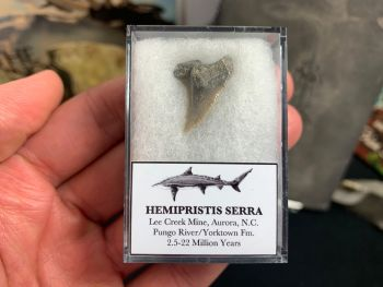 Hemipristis serra Shark Tooth, North Carolina #06