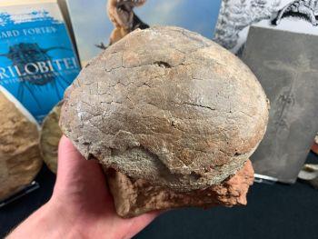 Hadrosaur (Dendroolithus sp.) Dinosaur Egg