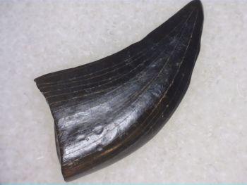 Theropod Dinosaur Tooth (Judith River Fm.) #02