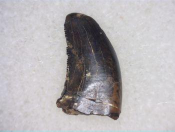 Theropod Dinosaur Tooth (Judith River Fm.) #03