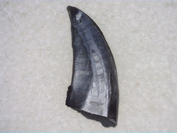 "Dromaeosaur ""raptor"" Dinosaur Tooth (Judith River Fm.) #03"