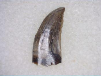 Saurornitholestes Dromaeosaur Tooth (Judith River Fm.) #01
