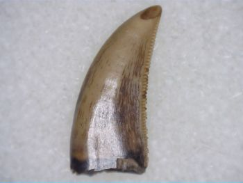 Saurornitholestes Dromaeosaur Tooth (Judith River Fm.) #05