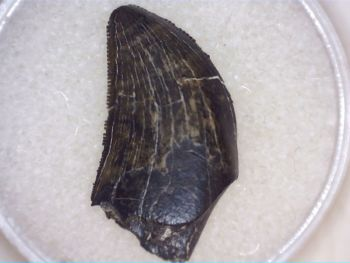 Daspletosaurus or Gorgosaurus Tooth, Judith River Fm. #04