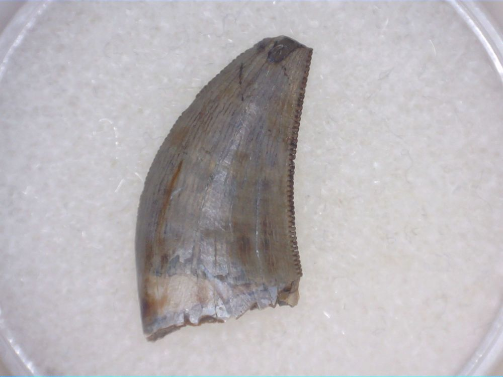 Daspletosaurus/Gorgosaurus Tooth (Judith River Fm.) #03