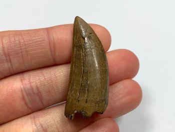 Daspletosaurus/Gorgosaurus Tooth (Judith River Fm.) #13