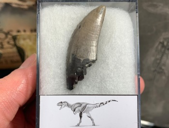 Daspletosaurus/Gorgosaurus Tooth (Judith River Fm.) #14