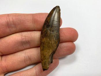 Daspletosaurus/Gorgosaurus Tooth (Judith River Fm.) #15