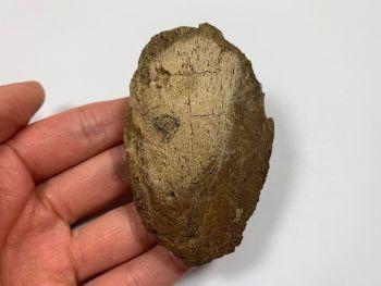 Hadrosaur Claw/Ungual (Judith River Fm.) #01
