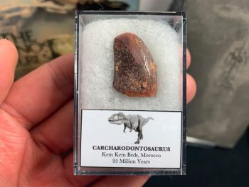 Carcharodontosaurus Tooth - 0.88 inch #CT11
