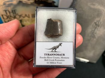 Tyrannosaur Tooth Chunk (Nanotyrannus or T. Rex)