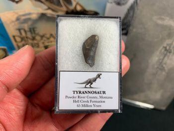 Tyrannosaur Tooth Tip (Nanotyrannus or T. Rex) #02