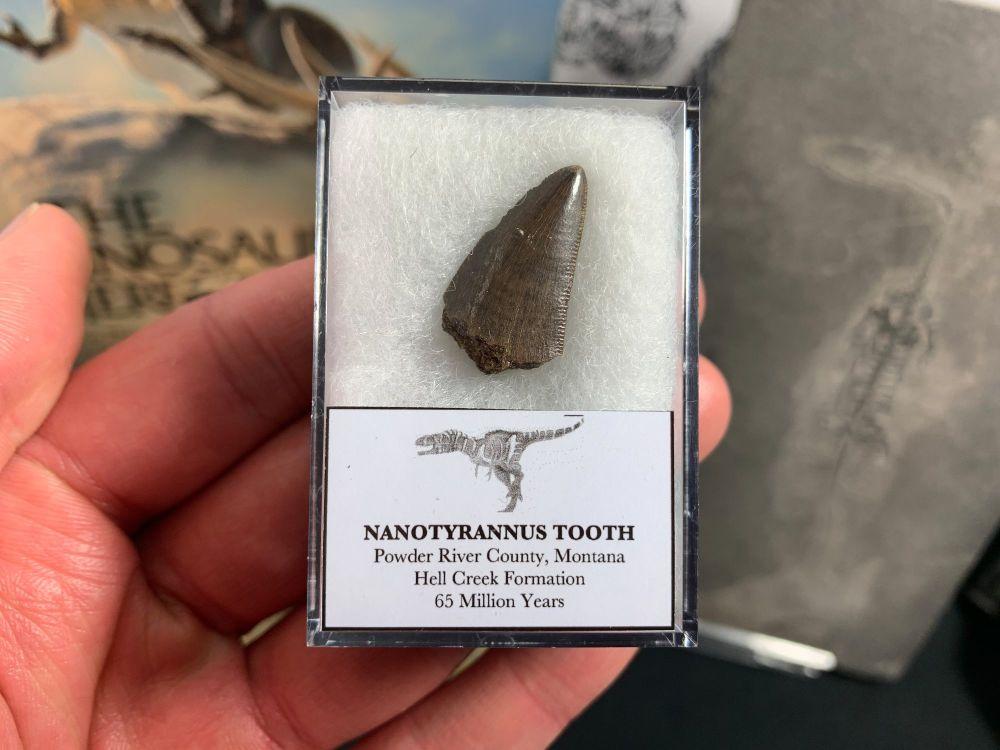 Nanotyrannus Tooth #03