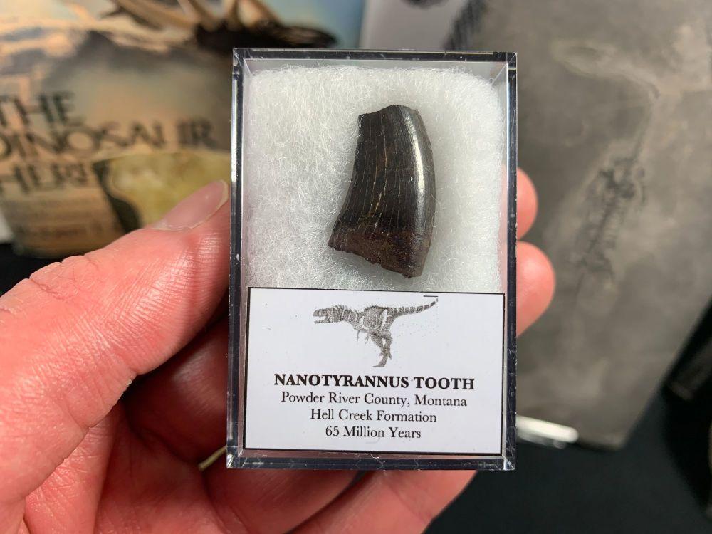 Nanotyrannus Tooth #60