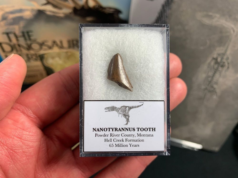 Nanotyrannus Tooth #08