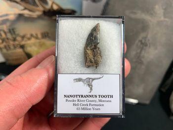 Nanotyrannus Tooth #40