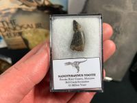 Nanotyrannus Tooth #49