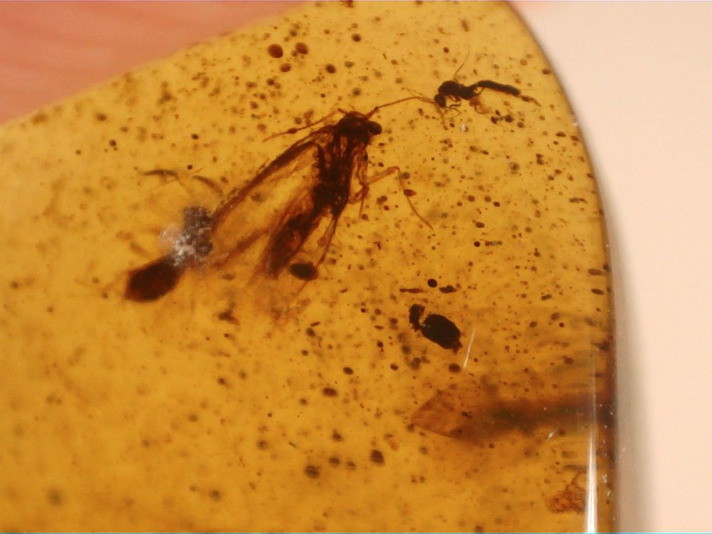 Burmite Amber with Insect Inclusions #BUR03
