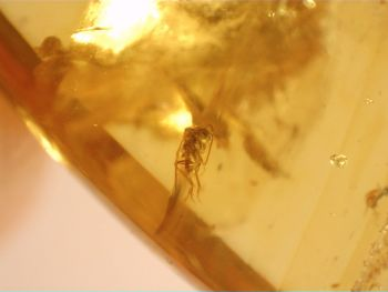 Burmite Amber with Insect Inclusions #BUR04