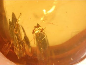Burmite Amber with Insect Inclusion #BUR05