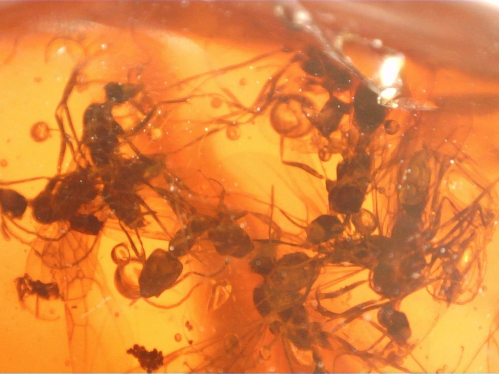 Dominican Amber Inclusion #52 (Swarm of Winged Ants)