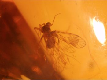 Dominican Amber Inclusion #54 (Winged Insect)