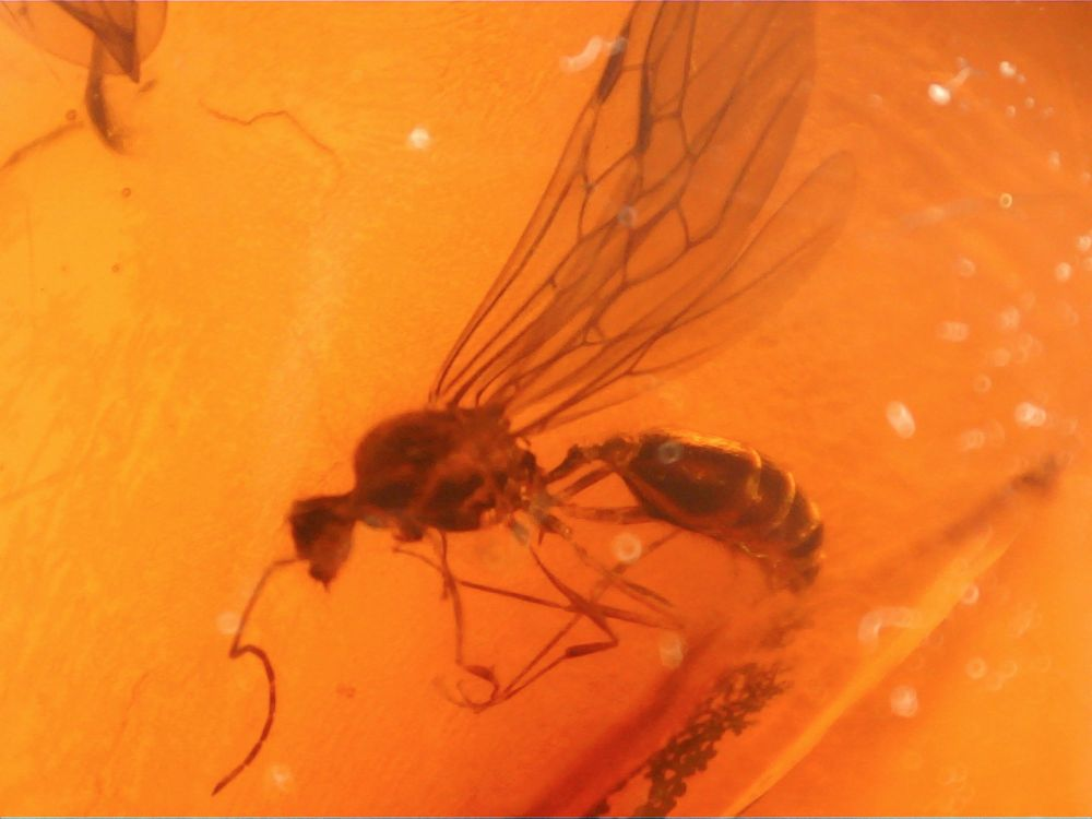 Dominican Amber Inclusion #55 (Winged Ants)