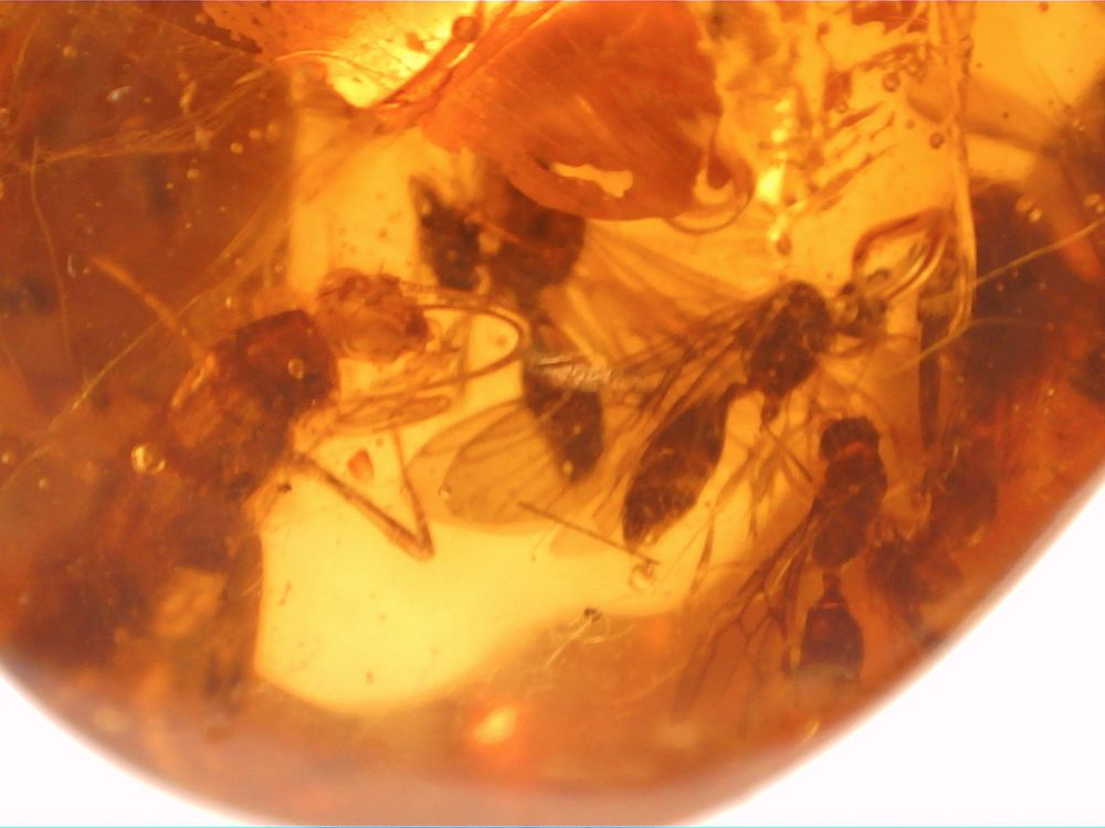 Dominican Amber Inclusion #64 (Winged Ants)